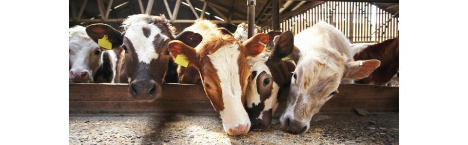 Кормление коров рацион сколько давать комбикорма сена